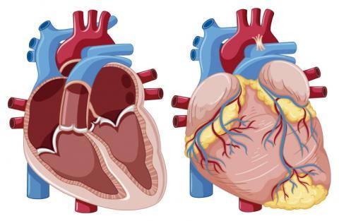 Sistema cardiovascular: corazón, pulmones y circulación – Bupa